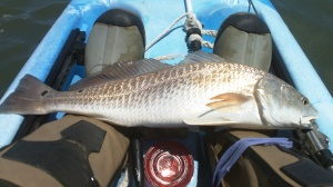 24 3/4 in 4lb Redfish caught on a Kelly Wiggler.