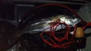 25in 6lb Red caught on a Aquadream Spoon(green) by Miguel Martinez