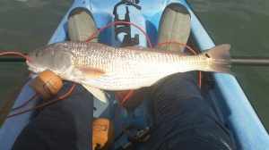 26in 7lb Red caught on a Kelly Wiggler
